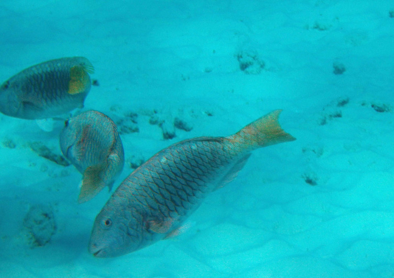 Yellowtail Parrotfish (Initial Phase)<br /> <br /> Parrotfish also create a lot of sand -- about 70% of their ingested matter is inorganic and returned to the sea floor.