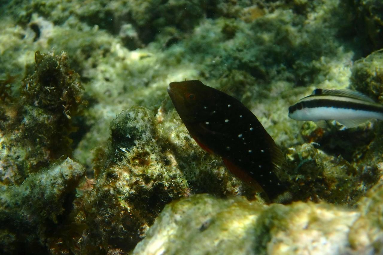 juvenile Stoplight Parrotfish -- Sparisoma viride
