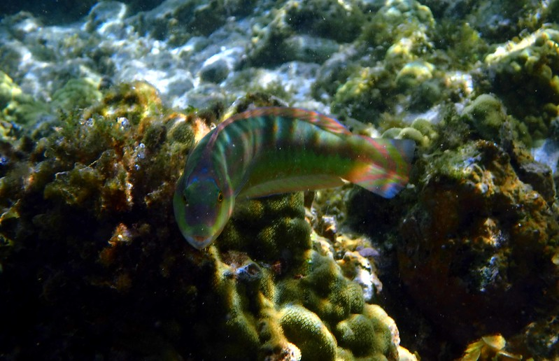 Slippery Dick (terminal phase) -- Halichoeres bivittatus