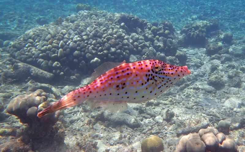 Scrawled Filefish -- Aluterus scriptus, an omnivore and one of the few fish that can consume gorgonians
