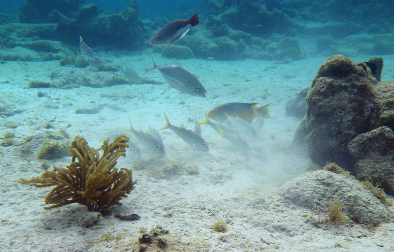 opportunistic feeders are drawn to a goatfish dust-up