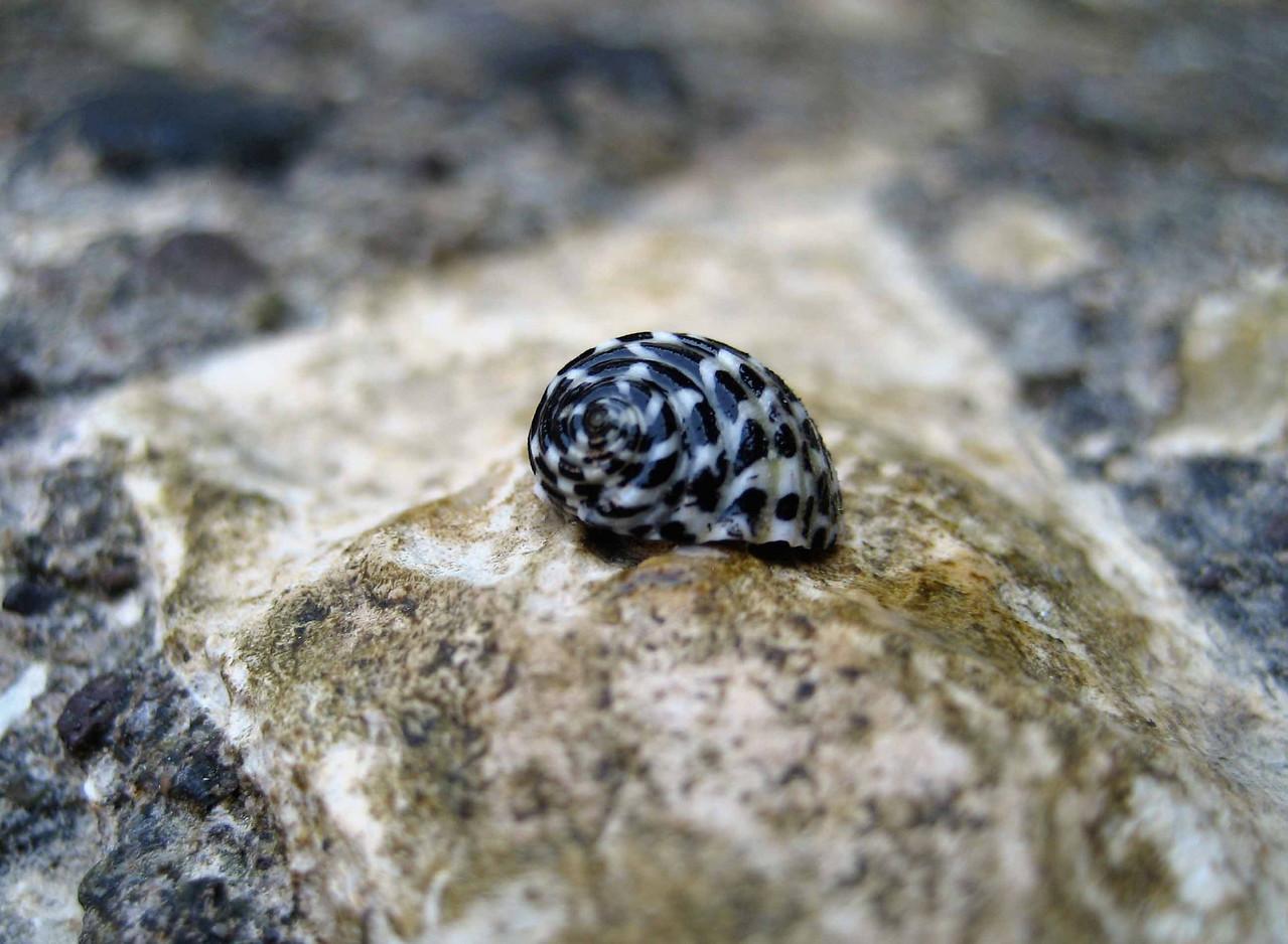 Checkered Nerite -- Nerita tesselata