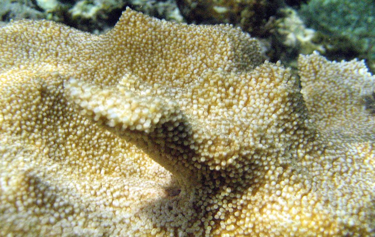 Elkhorn Coral -- Acropora palmata