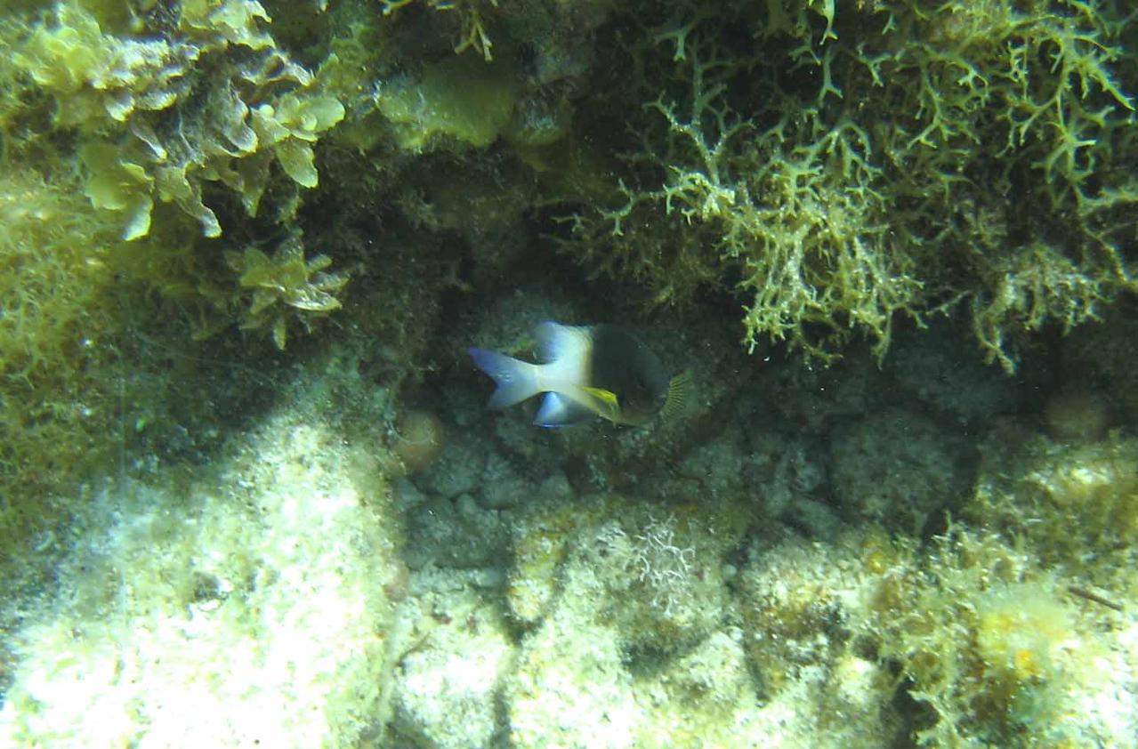 Bicolor Damselfish -- Stegastes partitus