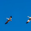 Snow Geese Bank a Turn