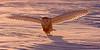 Back Lit Snowy Owl. John Chapman.