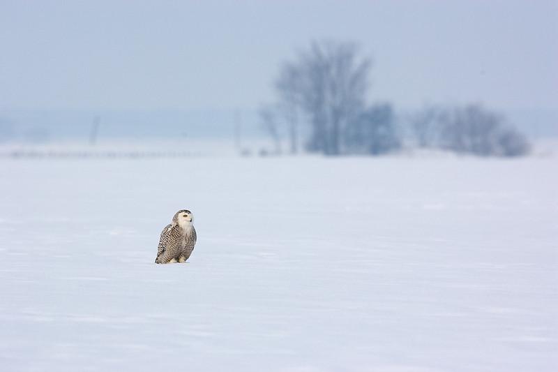 Snowy Owl in Landscape. John Chapman.