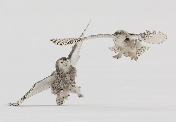 Snowy Owls Fighting, John Chapman.