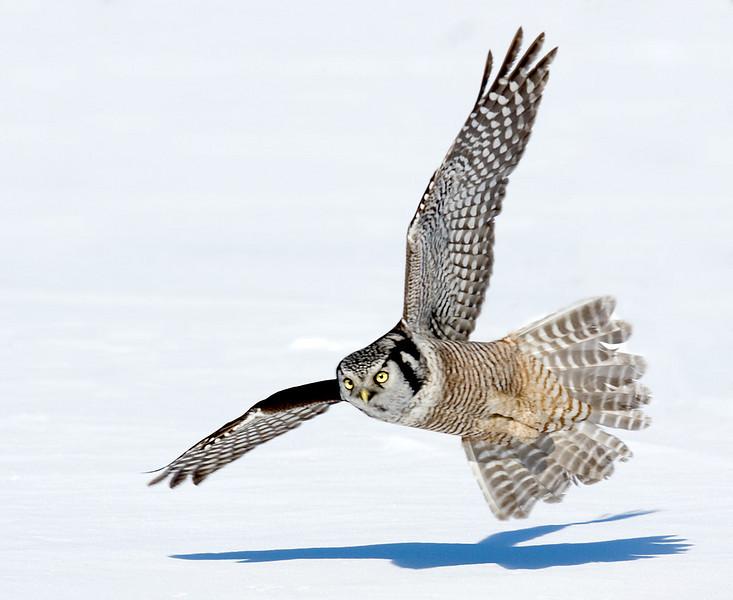 Hawk Owl. John Chapman.