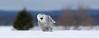 Snowy Owl in Landscape.
