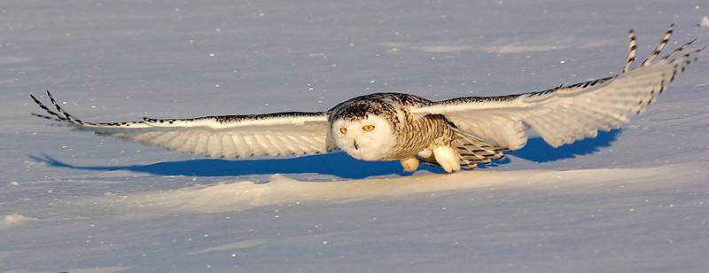 Snowy Owl. John Chapman
