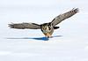 Hawk Owl.. John Chapman.