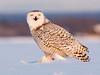 Snowy Owl. John Chapman.