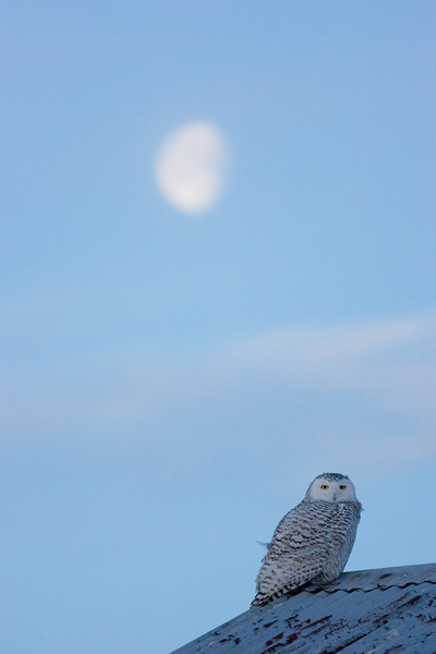 Snowy owl with the Moon. John Chapman.
