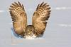 Great Grey Owl.John Chapman.