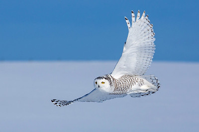 Snowy Owls, Red Fox, and more