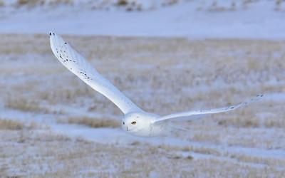 Snowy Owl (The Arctic Ghost)