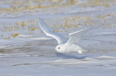 Snowy Owl (The Arctic Ghost)