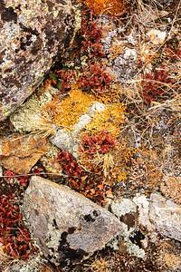 Alpine Tundra Lichen, Top of RMNP