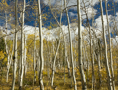 Young Aspen Grove.  All the from the same root system.