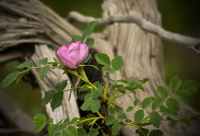 Pink Rose in the Forest