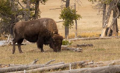 Wild Bison grazing  YSNP
