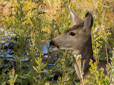 Mule deer doe on alert   Saratoga,   WY
