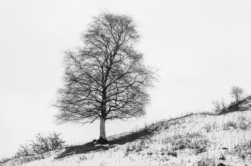 Birch in Winter, Cumbria, England