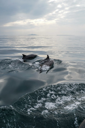 Dolphins accompany us back to Ulva Ferry, Isle of Mull