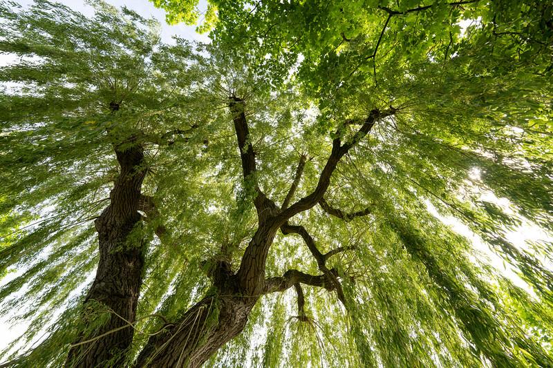 Tree in Cambridgeshire
