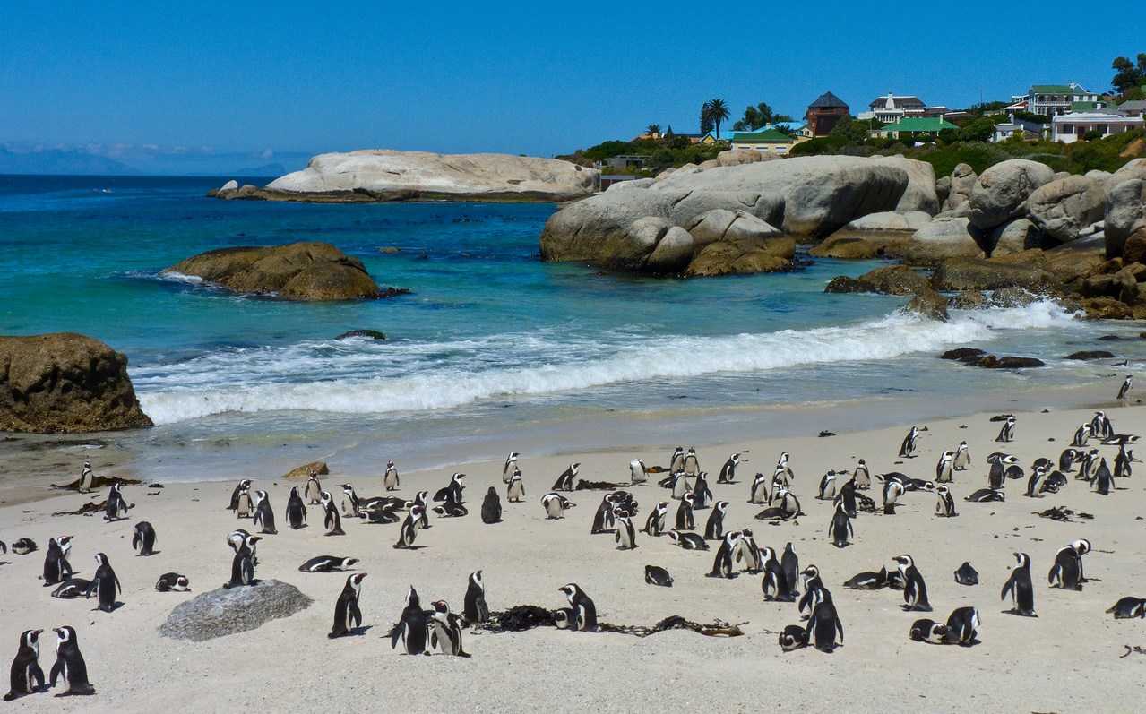 Yes, there are penguins in Africa. Lots.