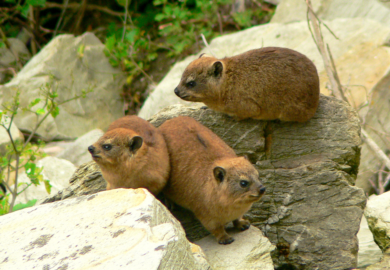"""Dassies"" were everywhere. They look cute at first...but they're perpetually pissed off it seems."