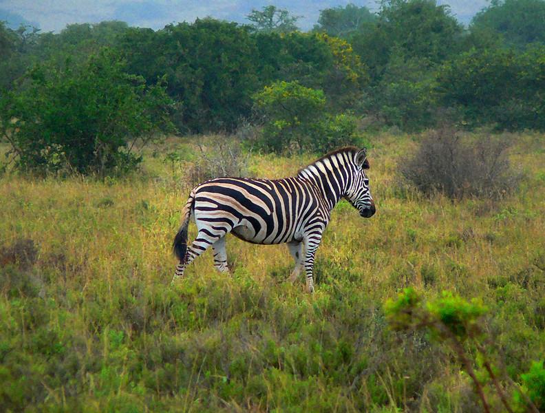 Fantasy zebra poster