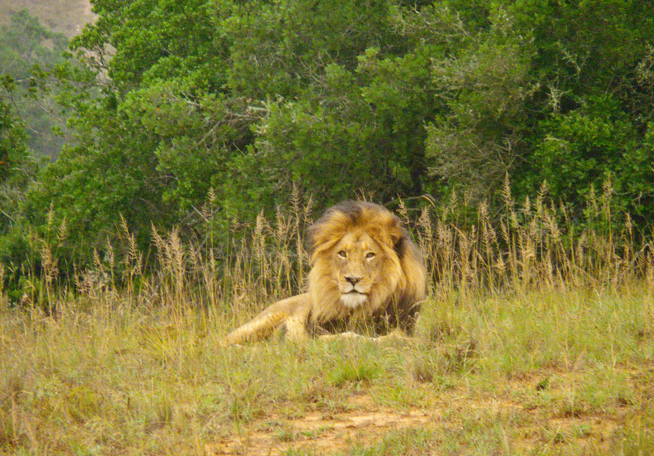 We were the only ones to spot the wild lion. This one is a big boy, the son of the biggest known lion in S. Africa, who currently lives in Kruger Nat'l park.