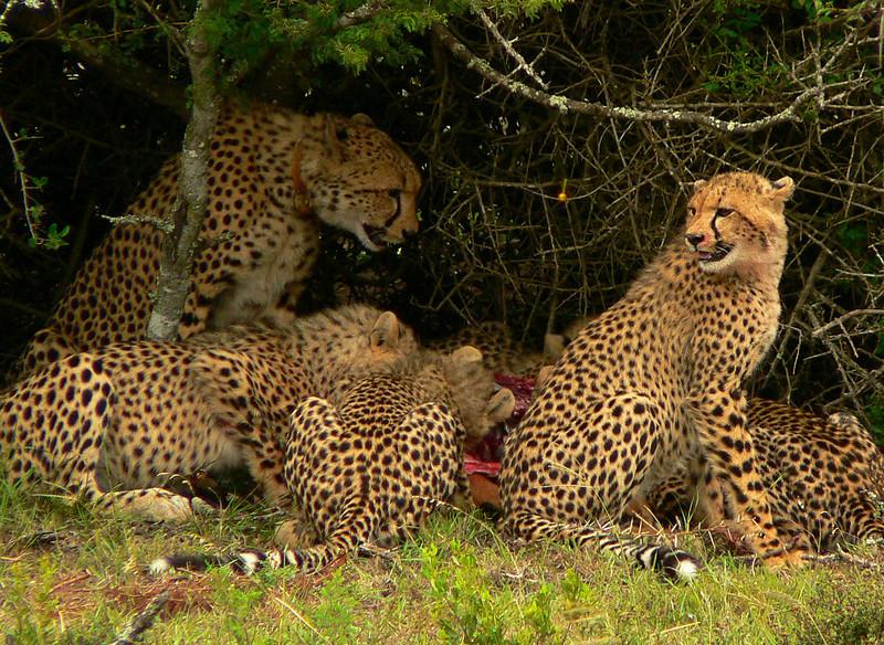 Cheetah mom brings home an impala for the kids