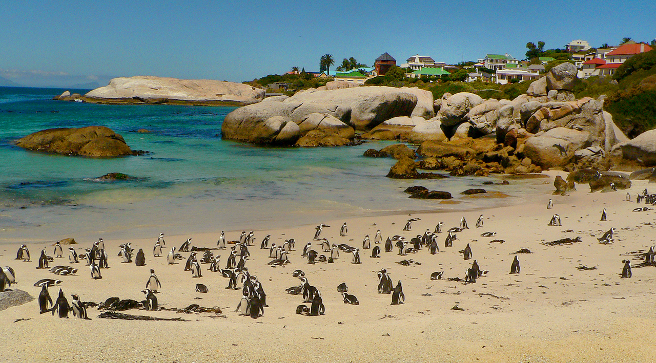 Just down the street from the naval base in Simonstown is Boulders Beach. Penguins live here.