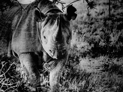 Black Rhino, Kwandwe