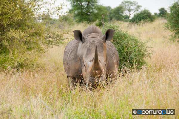 Rhino Head-On