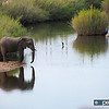 Elephant At River