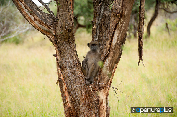 Baboon%20In%20A%20Tree