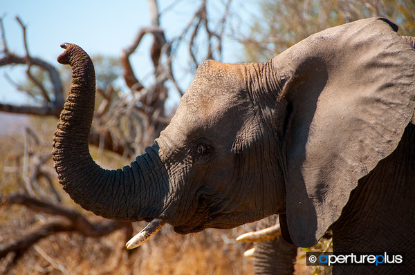Baby Tusker