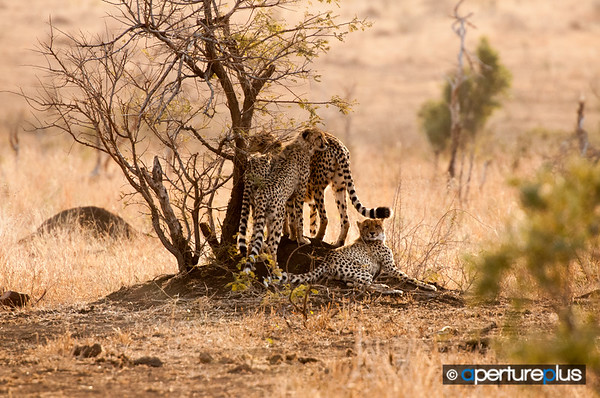 Cheetah Mother & Three Cubs