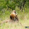 Lion%20Roar
