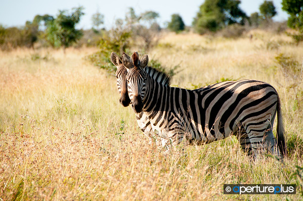 Mirrored Zebras