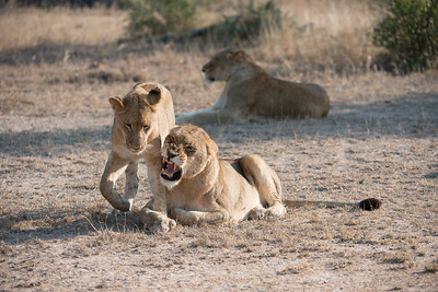 Young lions resting, sparring.