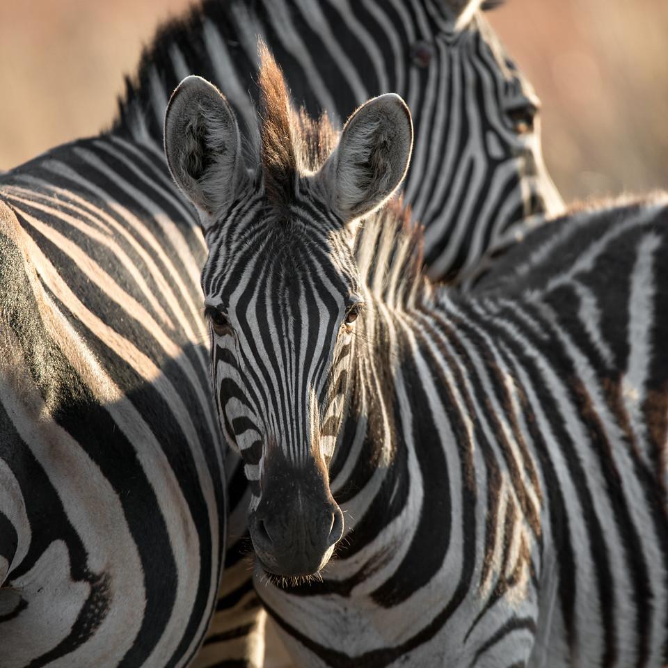 Zebra bonding.