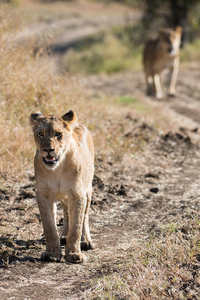 Young lions walking.