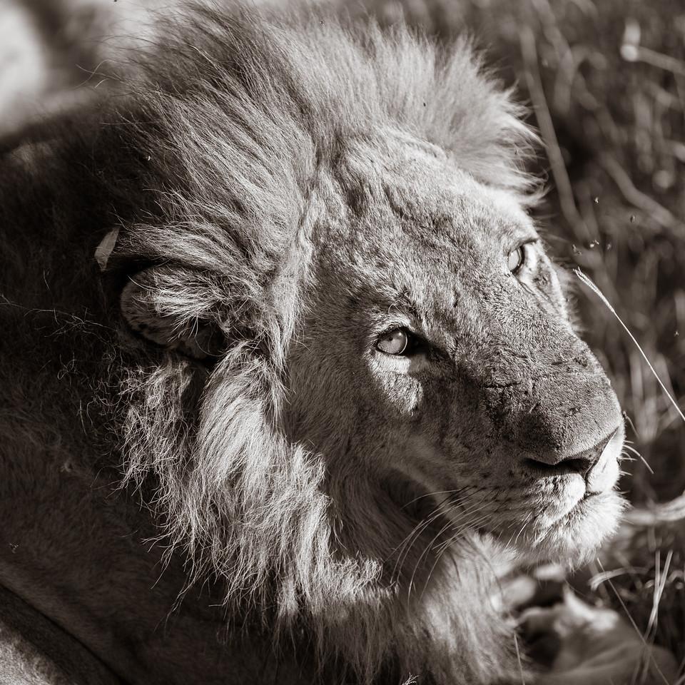 Lion posing
