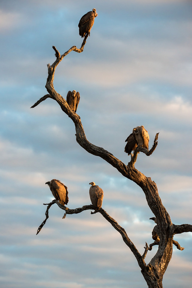 Vultures at sunset.
