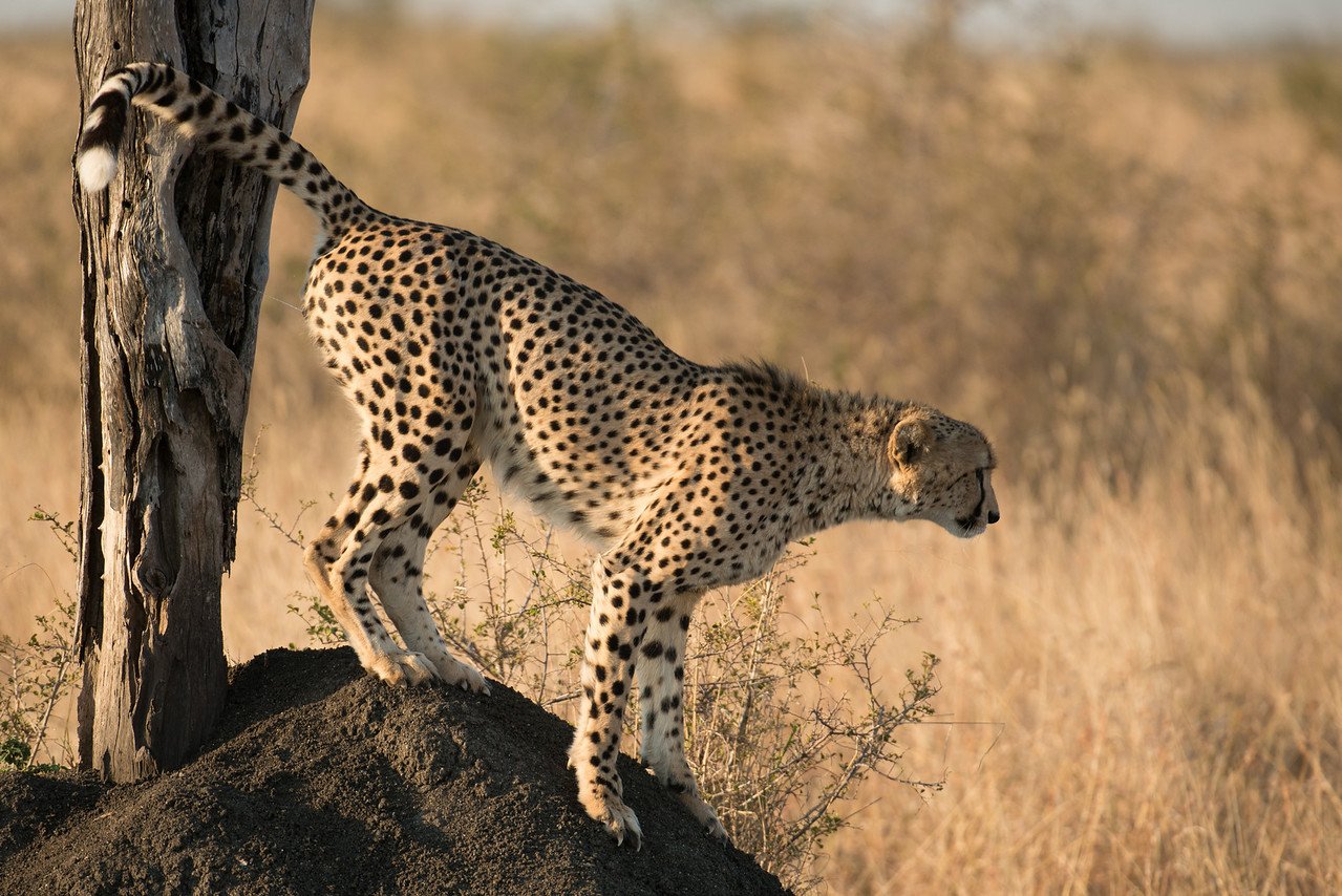 Cheetah marking territory.